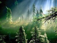 Wallpaper com foto de floresta de pinheiros invadida pela luminosidade.