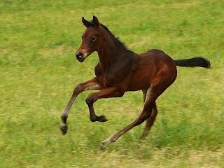 potro filhote de cavalo