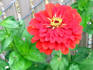 Zinnia California Giant