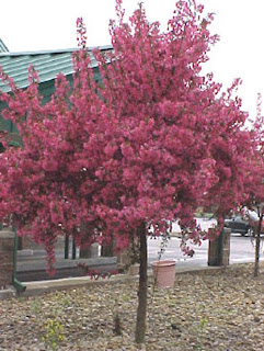 A crabapple tree. The photo is from https://tplcsomething.wikispaces.com/Justus%27+Page?f=print