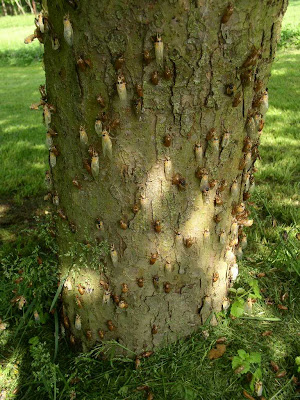 A tree covered with cicada bugs. The photo was taken from http://images.google.com/imgres?imgurl=http://biology.clc.uc.edu/Fankhauser/Animals/Insects/2004_May_cicadas/Cicada_P5180023.JPG&imgrefurl=http://flossmoorstation.blogspot.com/2007/06/cicadas.html&usg=__bYbr8ZTax4LRrQc3oWttO1gcb04=&h=1024&w=768&sz=139&hl=en&s