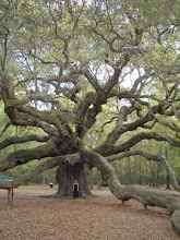 O CARVALHO_Árvore sagrada dos druidas
