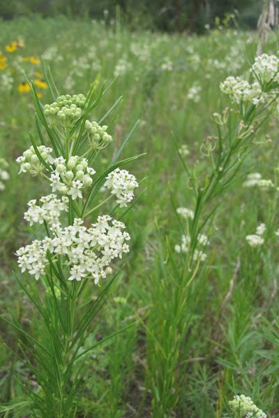 restoring the landscape with native plants  discoveries out  u0026 about  asclepias verticillata