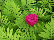 Sensitive Fern and Peony flower in my garden