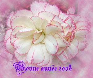 oeillet rose