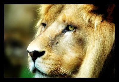roi-lion