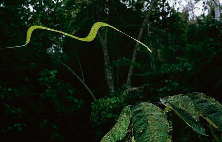 Cobra Voadora