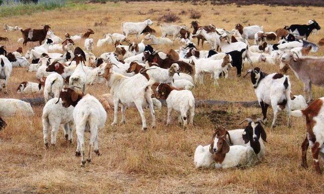 [Goats.JPG]