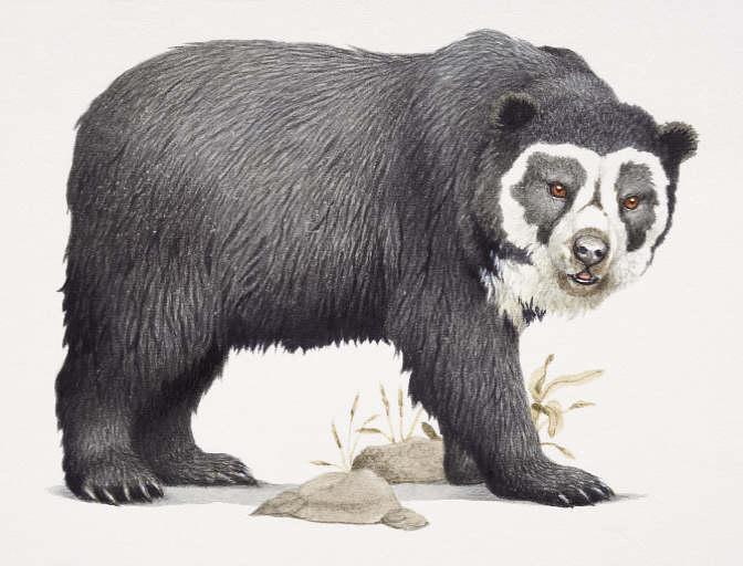 Imagenes para colorear oso frontino - Imagui