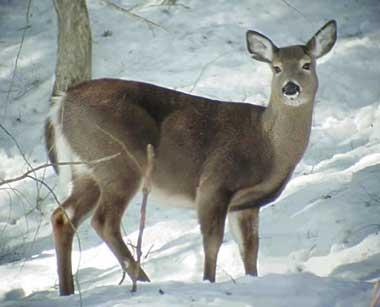 white tail deer pic1