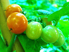 Cherry tomatoes are ripening...
