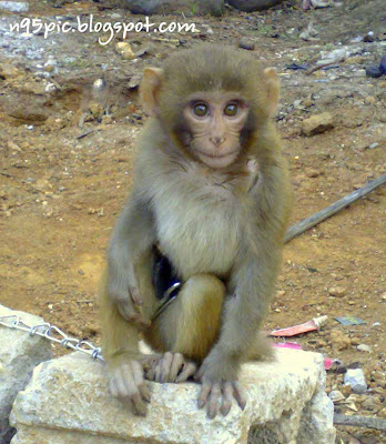 nepali monkey,monkey in nepal, monkey in danger,n95 pictures,Kathmandu monkey,baby monkey,cute monkey,trained monkey