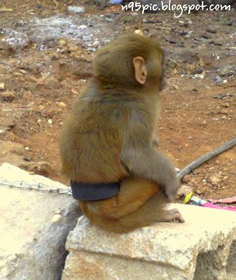 cute little monkey,red monkey,white monkey,black monkey,trained monkey