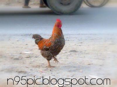 April fool,making fool in April first,Hen,picture of hen,Nepali hen,local hen,hen in pokhara,local bird,hen picture taken by mobile,mobile pictures,n95 picture,picture taken by n95