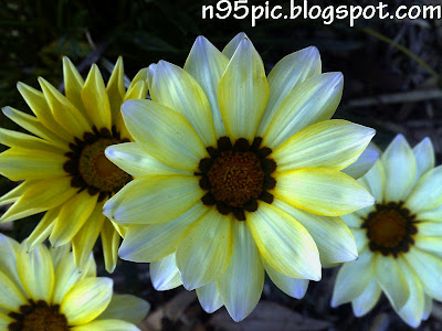 flowers,beautiful daisies,daisies,different kinds of flowers,world of flowers,Nokia, n96 mobile , Nokia n97, Nokia n96