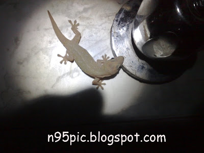 Lizard,wall lizard,lizard in the bathroom,n95 pictures,Image of lizard,picture of wall lizard,