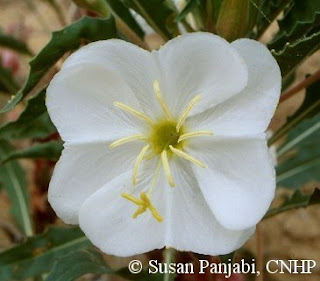 Oenothera harringtonii