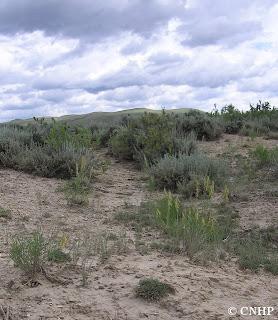 Astragalus osterhoutii habitat