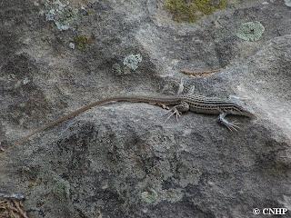 Aspidoscelis neotesselata showing long tail