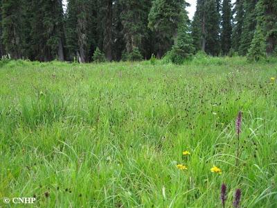 Carex limosa