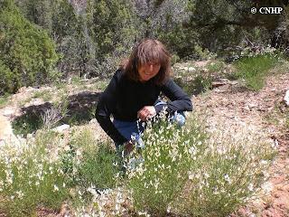 Astragalus linifolius
