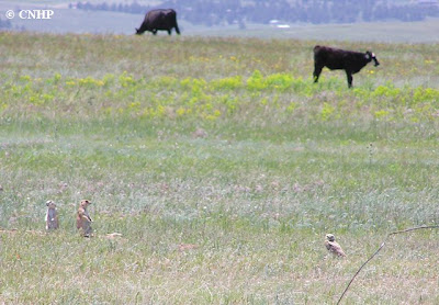 juxtaposition of native prairie species and cows