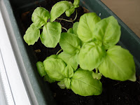 The baby basil have finally grown a little - hopefully I get at least some leaves out of it.