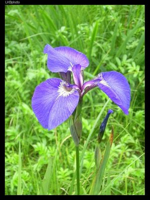"love should grow up like a wild iris essay The poem ""love should grow up like a wild iris in the fields"" follows the tradition of the romantic poets in its effort to equate love with nature the poet spe."