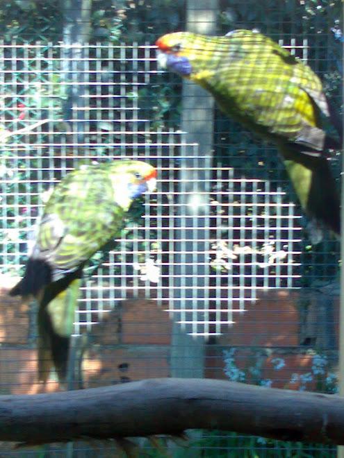 casal de roselas verdes da caledónia