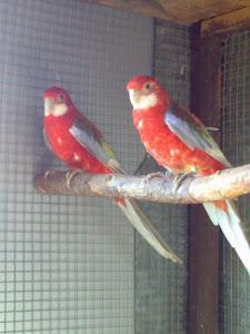 casal roselas vermelho pastel(2007)