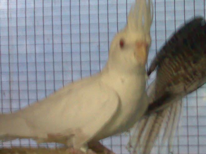 caturra face branca albina