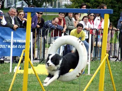 cão praticando agility