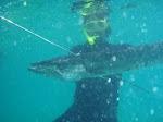 Pesca de Picua en Araya