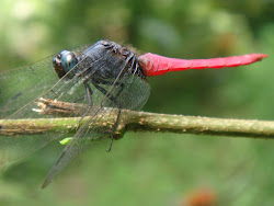 Crimson-tailed marsh hawk dragonfly