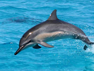 hawaiian dolphins