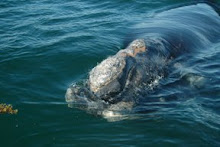 Right whale calf (egno 2605's 2007 calf)