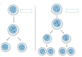 Reproduccin celular AcTiViDaDeS PaRa pRaCtIcAr