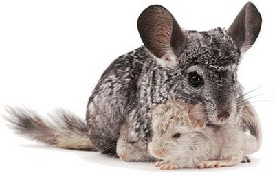 Chinchillas Proe_08