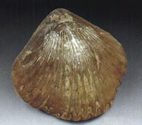 Braquiópodos fósiles Braq_02