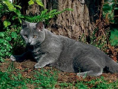 Razas de Gatos Rgat_14