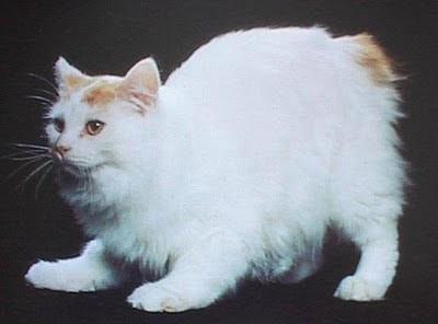 Razas de Gatos Rgat_17