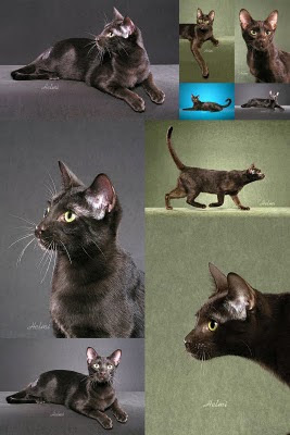 Razas de Gatos Gatos-Havana-Brown