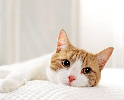 Sanidad del gatito Gato_PPT112_panleu