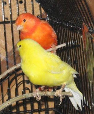 Canarios Canarios-domesticos
