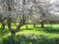 Apple Trees in Bloom