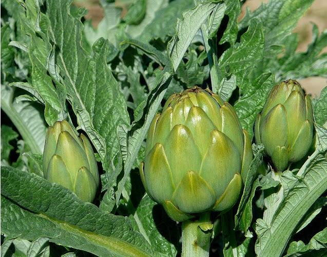 Propiedades curativas de la alcachofa ~ Solountip.com