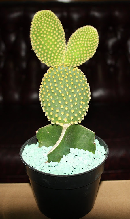KAKTUS MINI OPUNTIA ( MICKEY MOUSE )