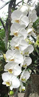 Phalaenopsis amabilis var. formosana