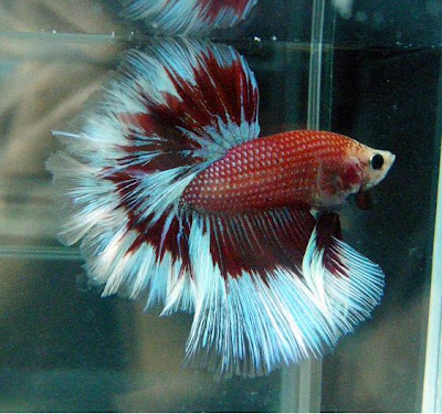 Archived auction fwbettashm1254677389 for How much are betta fish