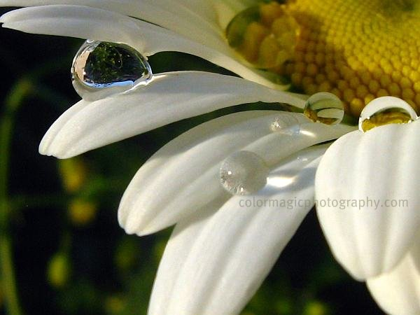 Raindrops on white petals